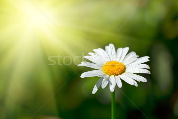 Blanche camomille domaine gouttes d'eau macro printemps Photo stock © dmitry_rukhlenko