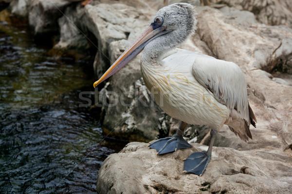 Spot-billed Pelican or Grey Pelican (Pelecanus philippensis) Stock photo © dmitry_rukhlenko