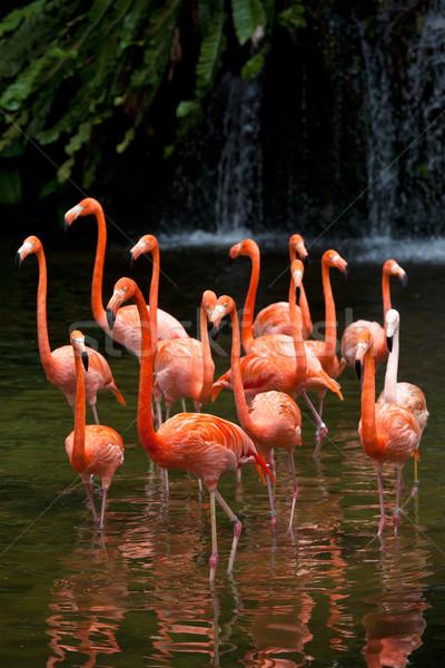 American Flamingo (Phoenicopterus ruber), Orange flamingo Stock photo © dmitry_rukhlenko