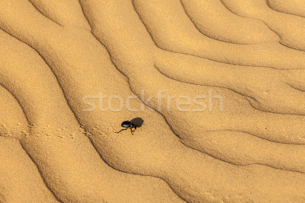 скарабей жук пустыне песок песчаная дюна ошибка Сток-фото © dmitry_rukhlenko