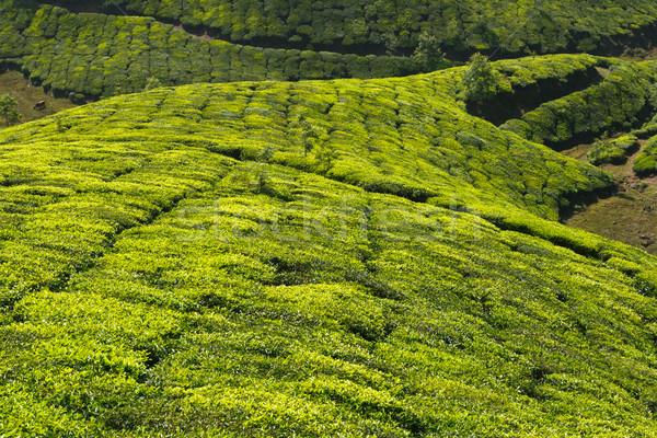 Té cielo hoja verde montanas agricultura Foto stock © dmitry_rukhlenko