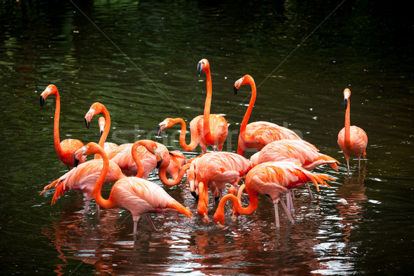 American Flamingo (Phoenicopterus ruber), Orange flamingo Stock photo © dmitry_rukhlenko