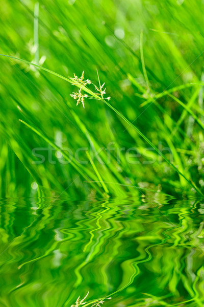 ストックフォト: 緑の草 · 反射 · 水 · 春 · 庭園 · 背景