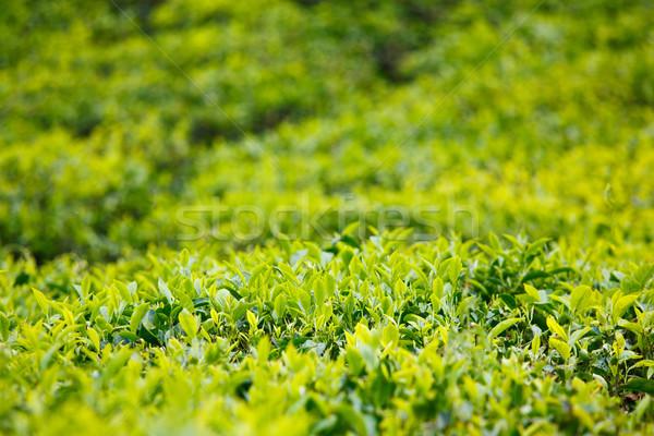 Stock photo: Tea bud and leaves