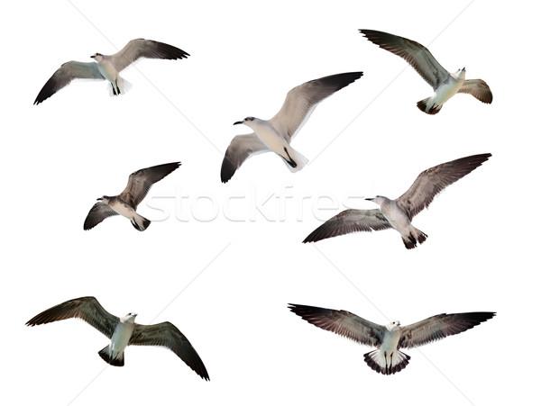 飛行 カモメ 孤立した 白 空 グループ ストックフォト © dmitry_rukhlenko