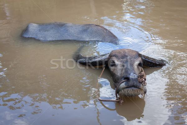 Agua Vietnam naturaleza vaca paisaje fauna Foto stock © dmitry_rukhlenko