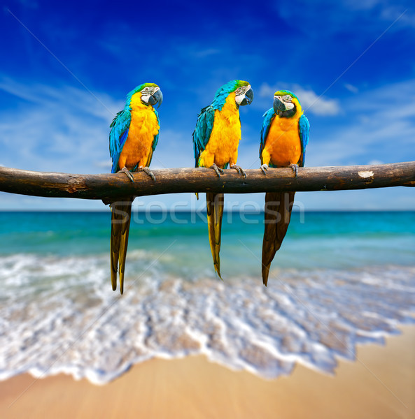 three parrots (Blue-and-Yellow Macaw (Ara ararauna) also known a Stock photo © dmitry_rukhlenko