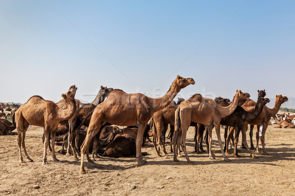 Chameaux chameau juste Inde indian Photo stock © dmitry_rukhlenko