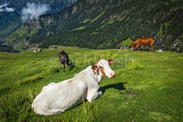 Cows grazing in Himalayas Stock photo © dmitry_rukhlenko
