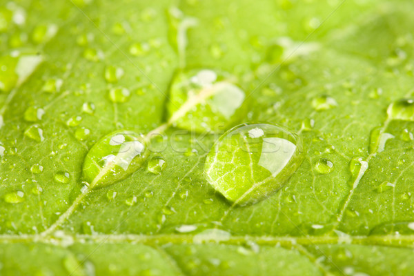 Folha verde três grande macro raso Foto stock © dmitry_rukhlenko
