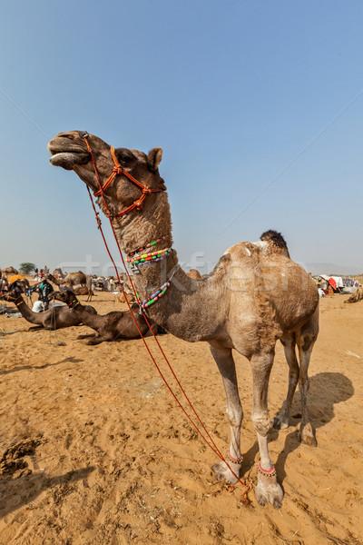 Camelos camelo feira Índia indiano Foto stock © dmitry_rukhlenko