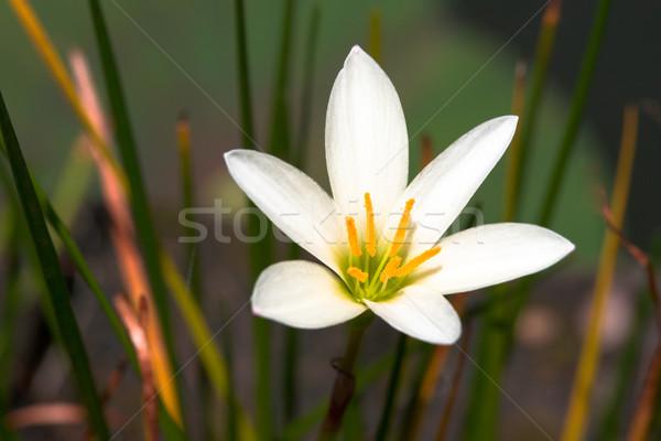 Branco flor tropical flor flores primavera Foto stock © dmitry_rukhlenko