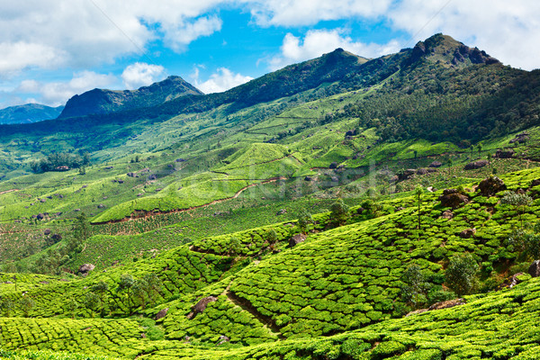 Tea plantations Stock photo © dmitry_rukhlenko