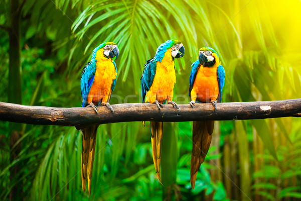 Blue-and-Yellow Macaw Stock photo © dmitry_rukhlenko