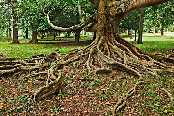 Foto stock: árvore · raízes · tropical · Sri · Lanka · natureza · planta