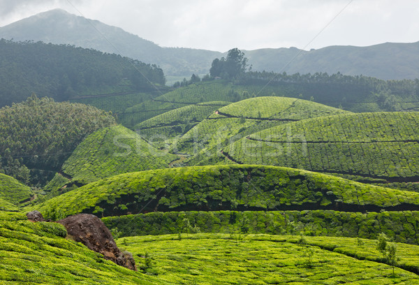 Tea plantations Stock photo © dmitry_rukhlenko