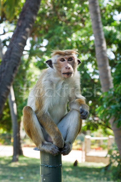 Long tailed macaque Stock photo © dmitry_rukhlenko