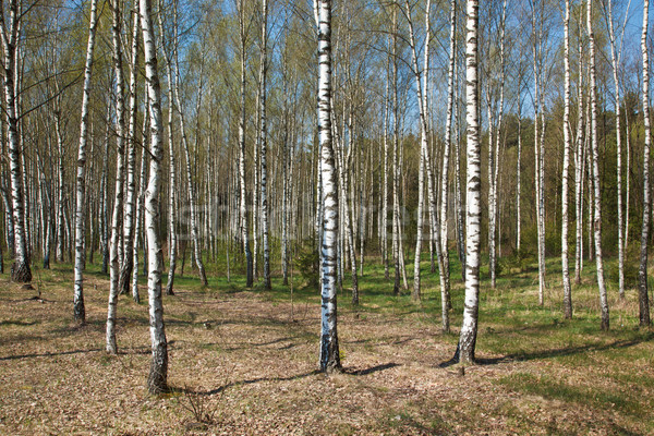 Birch grove Stock photo © dmitry_rukhlenko
