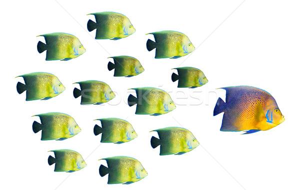 Leadership concept - big fish leading school of tropical fishes Stock photo © dmitry_rukhlenko