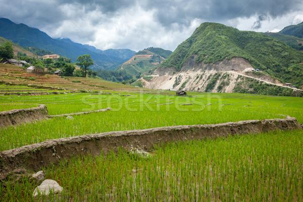 ストックフォト: コメ · ベトナム · 田 · 猫 · 村 · 自然