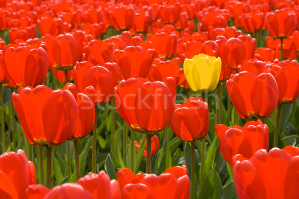 Single yellow tulip among field of red tulips Stock photo © dmitry_rukhlenko