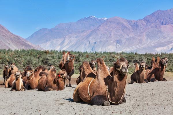 Верблюды Гималаи деревне долины небе пейзаж Сток-фото © dmitry_rukhlenko
