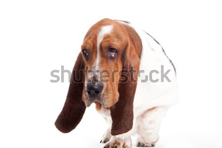 hush puppy walking Stock photo © DNF-Style