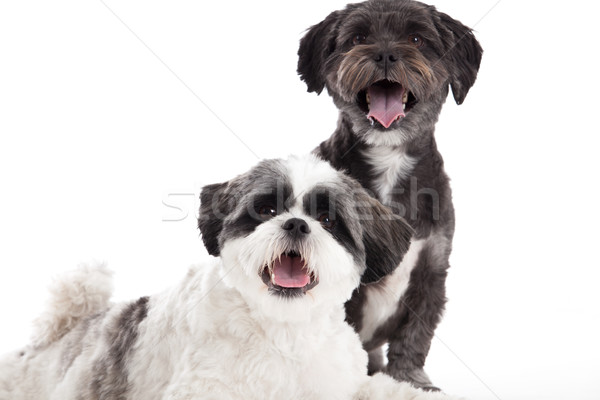shi tzu dogs in the studio Stock photo © DNF-Style