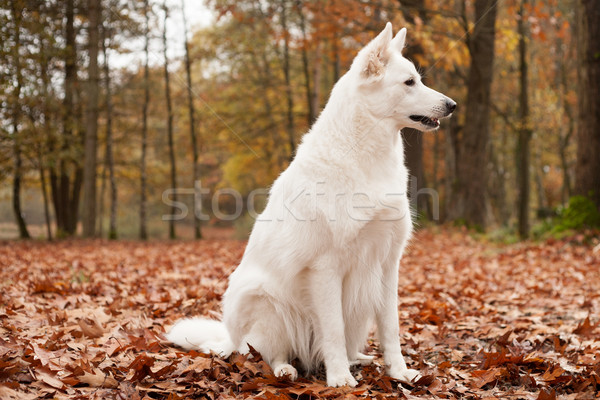 White sheppard in the forest is sitting Stock photo © DNF-Style