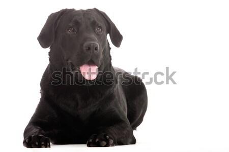 Labrador bakıyor mutlu köpek stüdyo beyaz Stok fotoğraf © DNF-Style