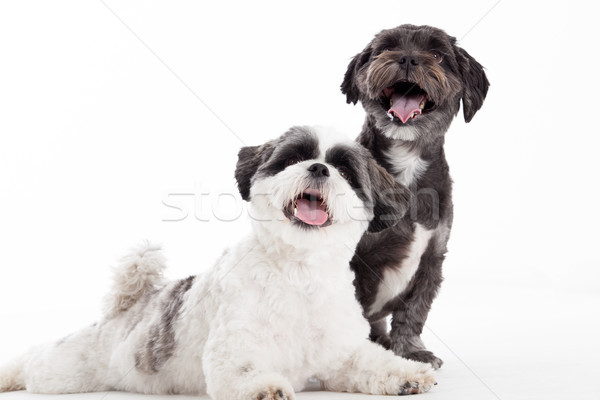 2 young shi tzu dogs Stock photo © DNF-Style