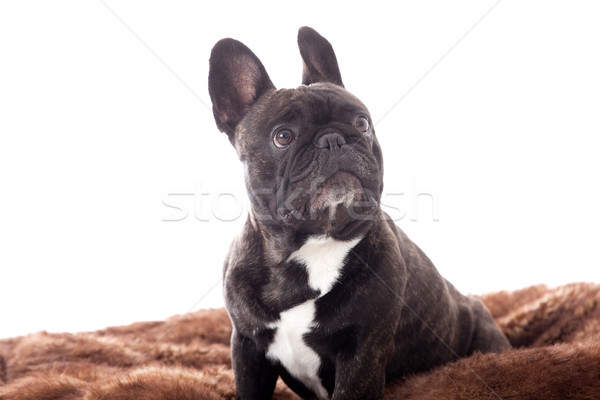 Franse buldog on his plaid Stock photo © DNF-Style