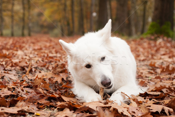White sheppard in the forest lays down Stock photo © DNF-Style