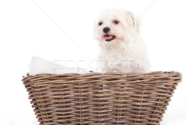 Sepet mutlu köpek stüdyo beyaz hayvan Stok fotoğraf © DNF-Style