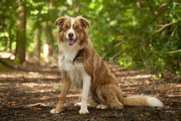 A border collie in the forest Stock photo © DNF-Style