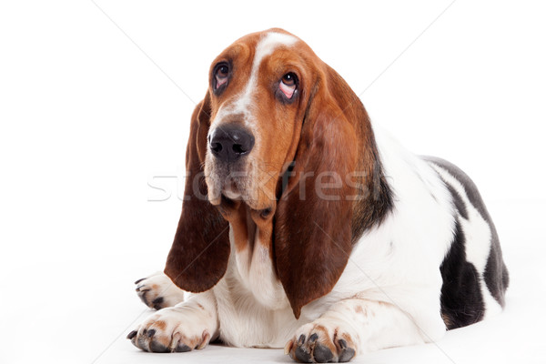 hush puppy lays down Stock photo © DNF-Style
