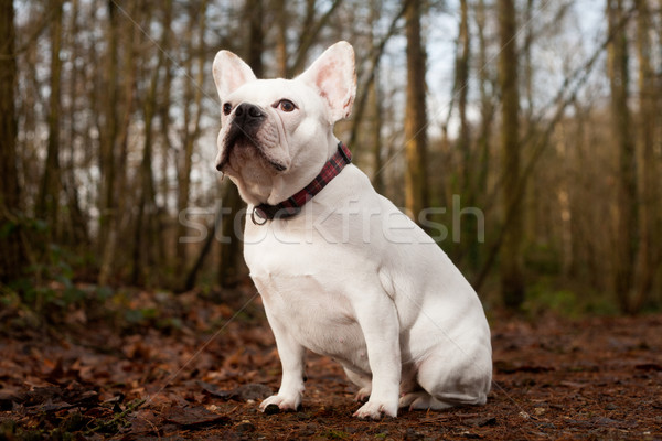 Franse buldog sitting in the forest Stock photo © DNF-Style