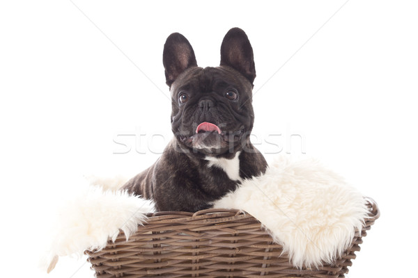 Franse buldog in a basket Stock photo © DNF-Style