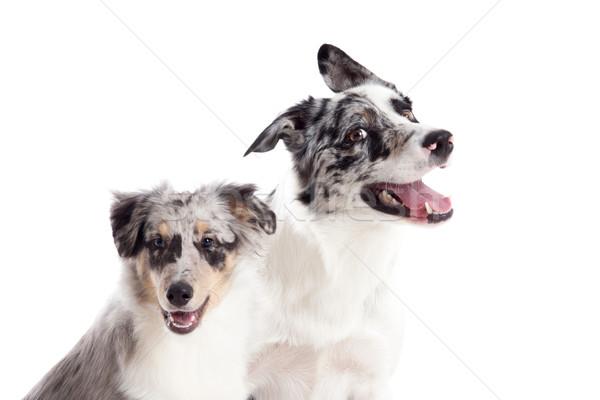 Portre mavi köpekler mutlu köpek stüdyo Stok fotoğraf © DNF-Style