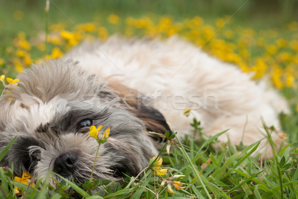 puppy is playing with the flowers Stock photo © DNF-Style
