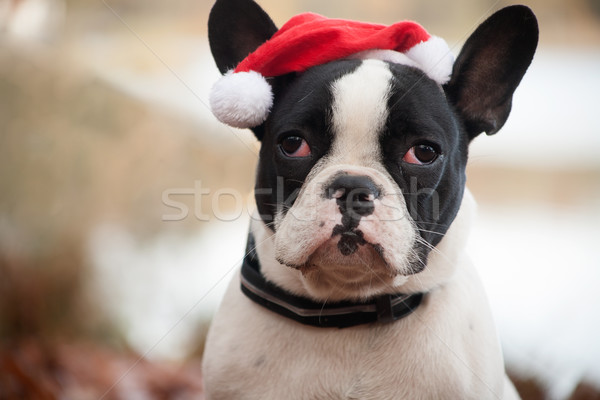 Franse buldog with christmas hat Stock photo © DNF-Style