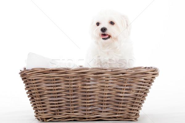 Cesta feliz cão estúdio branco animal Foto stock © DNF-Style