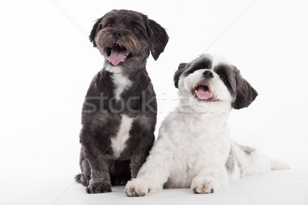 2 shi tzu dogs on white Stock photo © DNF-Style