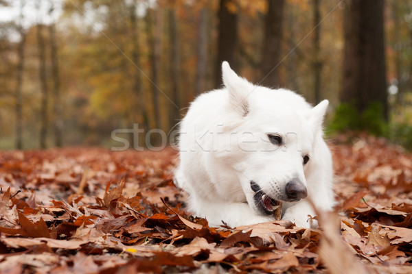 White sheppard in the forest chewing on his stick Stock photo © DNF-Style