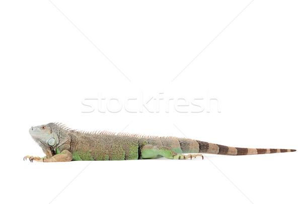 Geïsoleerd leguaan jonge witte studio oog Stockfoto © DNF-Style