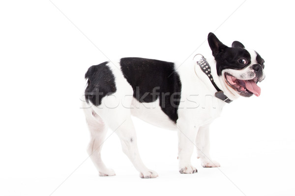 Franse buldog is looking Stock photo © DNF-Style