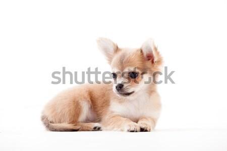 Witte gelukkig hond studio achtergrond portret Stockfoto © DNF-Style