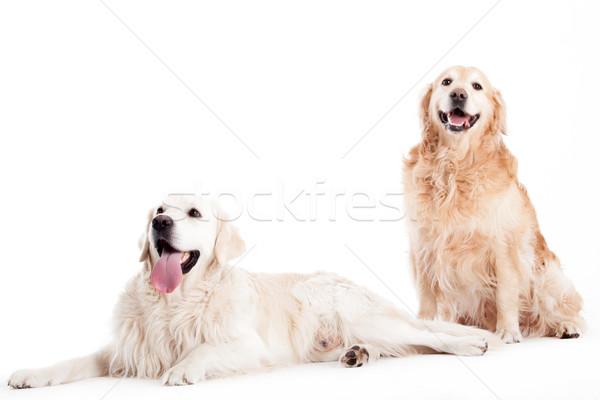 Av köpeği köpekler mutlu köpek stüdyo beyaz Stok fotoğraf © DNF-Style