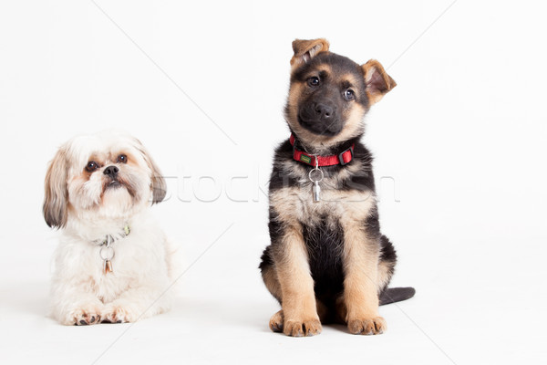 shi tzu with a sheppard Stock photo © DNF-Style