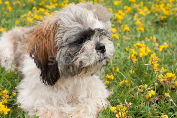 Portre köpek yavrusu küçük alan bahar yaz Stok fotoğraf © DNF-Style